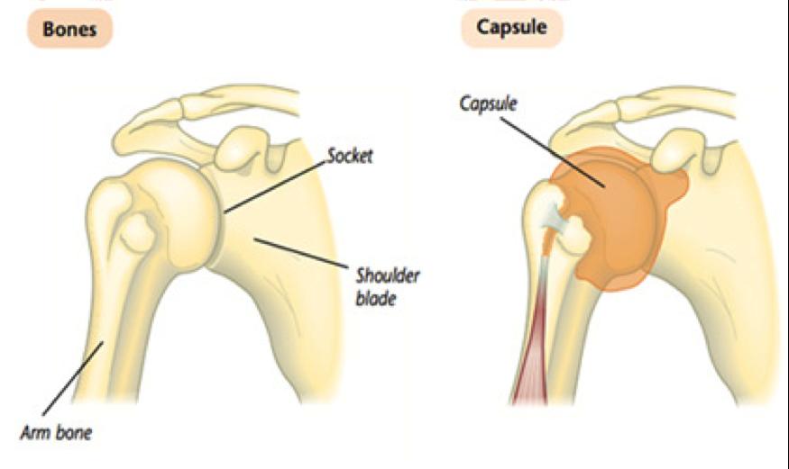 shoiujlder joint anatomy