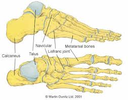 The bones of the foot - very complex system!